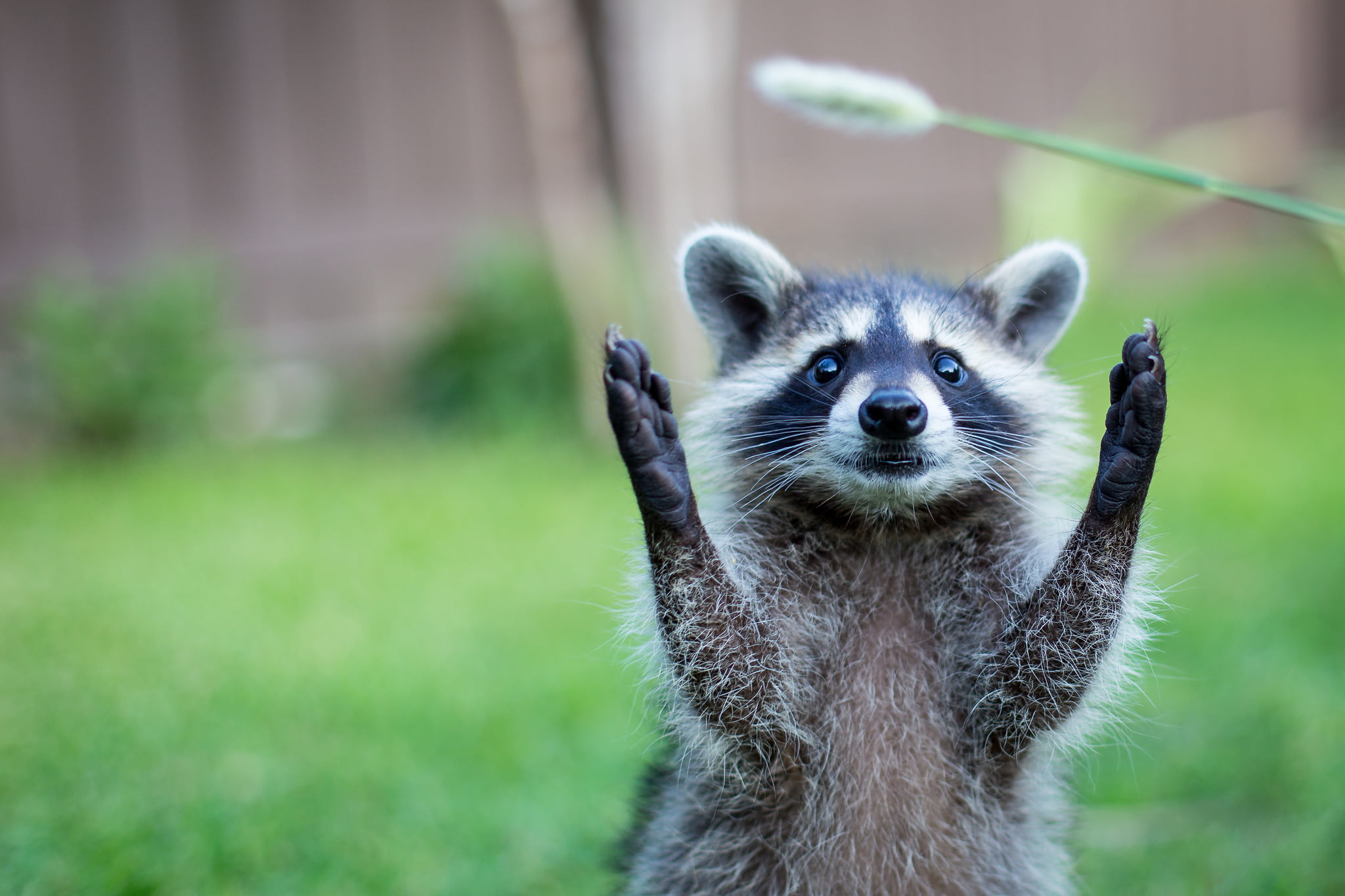 The Risks of Racoons in Your Home